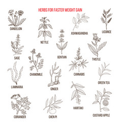 Best herbs for faster weight gain vector