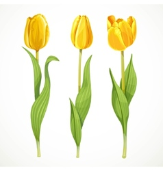 Three yellow flowers tulips isolated on a vector