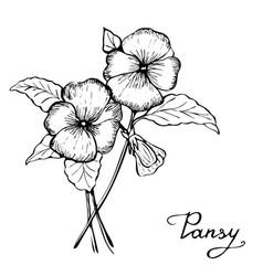 Pansy flower botany vector