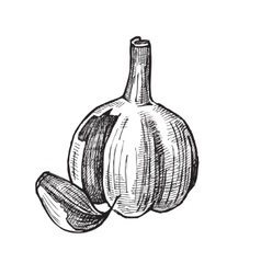 hand drawn of garlic vector image vector image