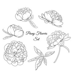 peony rose flowers reusable elements template set vector image