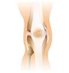 Human knee vector