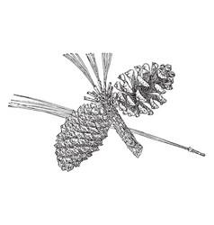 Pine cone of arizona pine vintage vector