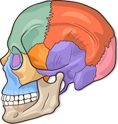 Human skull diagram vector