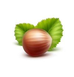 Full unpeeled hazelnut with leaves on background vector