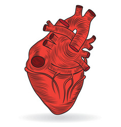 Heart human body anatomy sketch vector image vector image