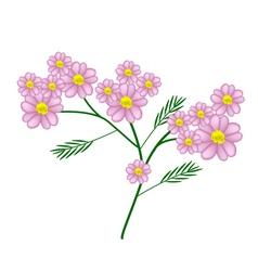 Pink yarrow flowers or achillea millefolium flower vector