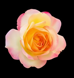 Realistic light pink mix yellow rose on black vector