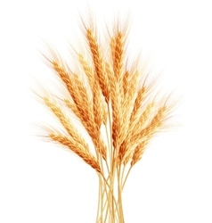 Stalks of wheat ears EPS 10 vector image vector image