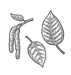 Birch leaf and buds vintage engraved vector