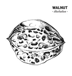 walnut fresh food hand drawn vector image
