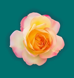Realistic light pink mix yellow rose with soft vector