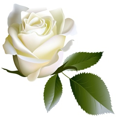 White realistic rose flower and leaves vector