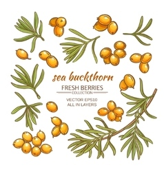 sea buckthorn set vector image vector image