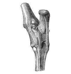 Tarsus ligaments vintage vector