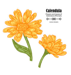 Calendula flowers on white vector