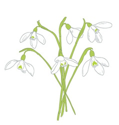 Snowdrops spring bouquet hand-drawn vector