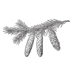 White spruce pine cone vintage vector