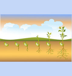 Seed stages of growth vector