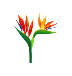 Bird of paradise flowers vector