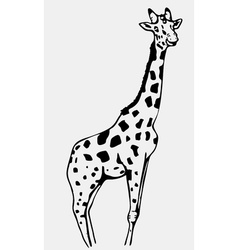 Hand-drawn pencil graphics giraffe Engraving vector image