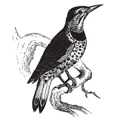 Golden winged woodpecker vintage vector