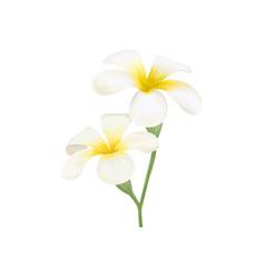 white and yellow plumeria frangipani flowers vector image