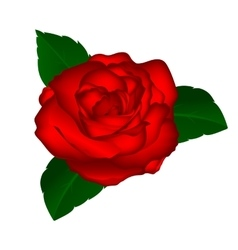 red rose on a white background vector image vector image