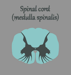 Human organ icon in flat style spinal cord vector