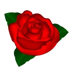 red rose on a white background vector image