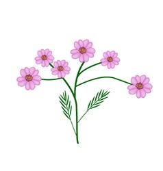 Purple yarrow flowers or achillea millefolium vector