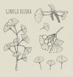 collection ginkgo biloba branches with leaves vector image