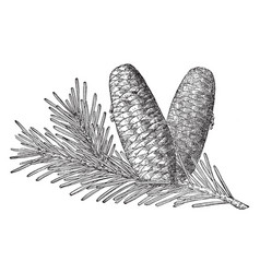 Pine cone of grand fir vintage vector