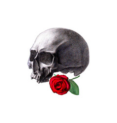 Human skull and red rose isolated vector