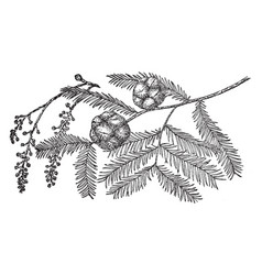 Pine cone of bald cypress vintage vector