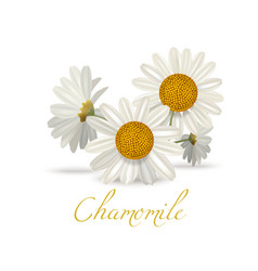 chamomile flowers in realistic style vector image vector image