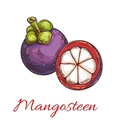 Tropical purple mangosteen fruit sketch vector