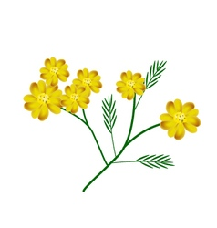 Yellow Yarrow Flowers or Achillea Millefolium vector image vector image