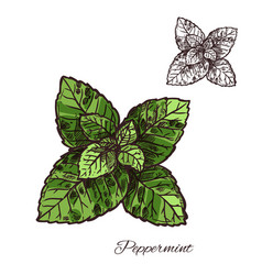 Mint green leaf sketch of peppermint or spearmint vector