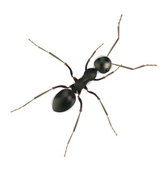 Realistic ant vector