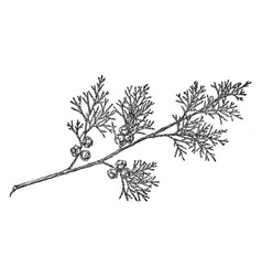 Branch of atlantic white cypress vintage vector