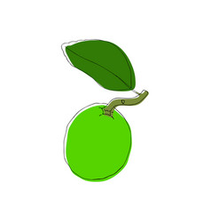 hand drawn lime fruit in vintahe style vector image vector image