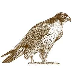 Engraving falcon vector