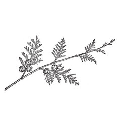 Branch of lawsons cypress vintage vector