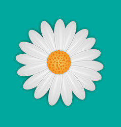 white daisy chamomile flower vector image vector image