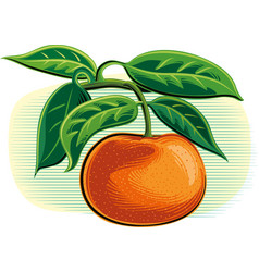 Tangerines on a white background vector