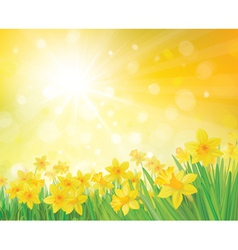 daffodil flowers on spring background vector image