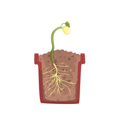 Green plant growing from seed of a bean in a pot vector