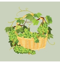 Bunches of fresh grapes in the basket isolated on vector image
