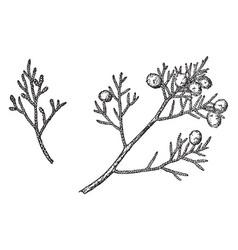 Branch of california juniper vintage vector